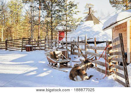 Reindeer At Winter Farm Lapland