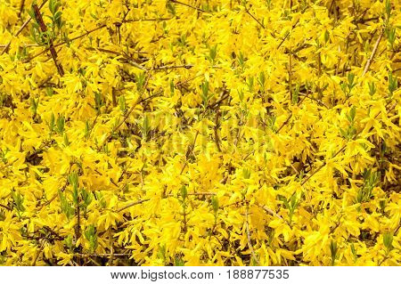 Close up branches of blooming Forsythia with yellow flowers