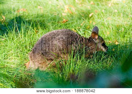 Small Kangaroo In The Grass Close Up