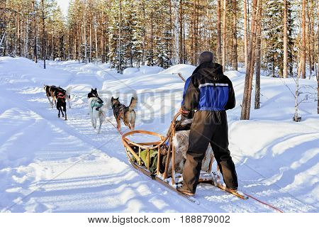 Man Riding Husky Sledge In Lapland Finland