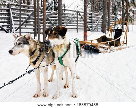 Husky With Sledge In Lapland Finland