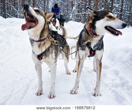 Husky In Sledge In Lapland Finland