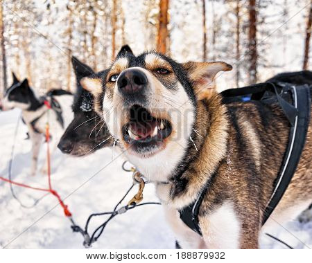 Husky Dogs In Sleigh At Lapland Finland