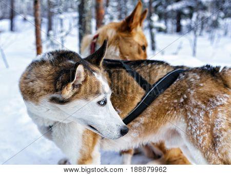 Husky Dogs In Sleigh In Finnish Lapland