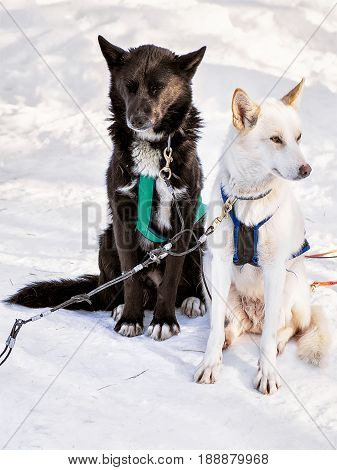 Husky Dogs In Sledge At Lapland Finland
