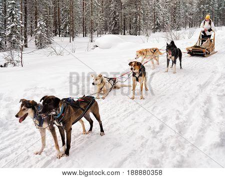 Girl In Husky Sledge In Lapland Finland