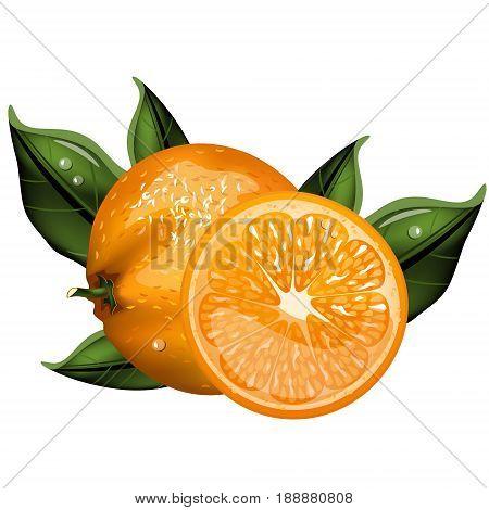 Orange whole and slices of oranges. Vector illustration of oranges.