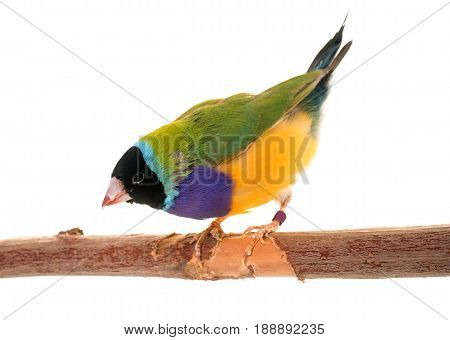 Gouldian finch in front of white background