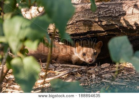 A Ferret Close-up Sits Under A Log