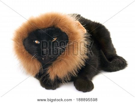 black cat disguised in front of white background