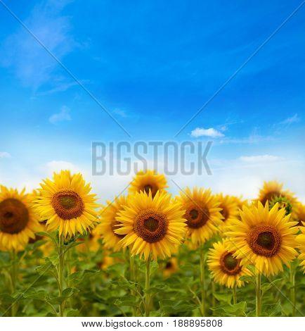 Beautiful landscape with sunflower field cloudy blue sky