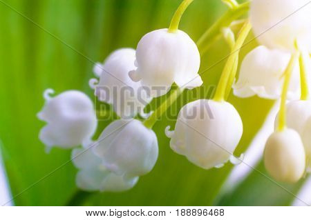 Lily Of The Valley,