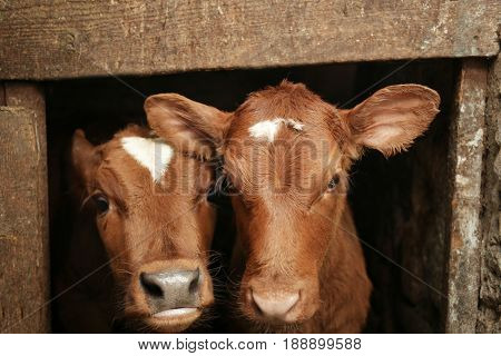 Two calves in cowshed, closeup