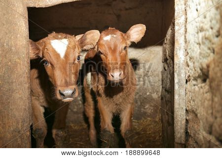 Two calves in cowshed