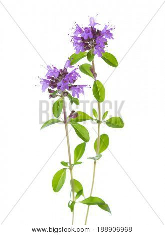 Two blooming Wild Thyme (Thymus serpyllum) isolated on white background.