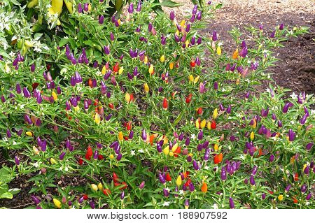 Hot and spicy Bolivian Chilli Chili peppers growing in rainbow colours in garden