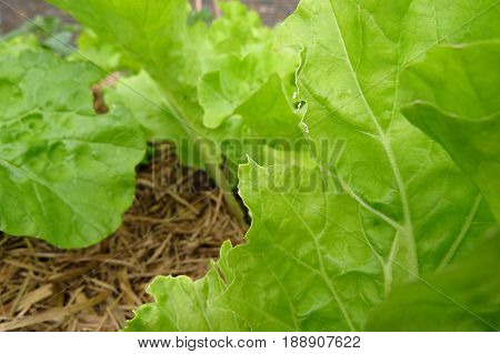 Fresh lettuce leaves leaf vegetable salad growing in garden bed insect bite eat