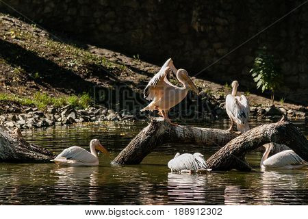Pelican Sits On A Log And Is Heated In The Sun