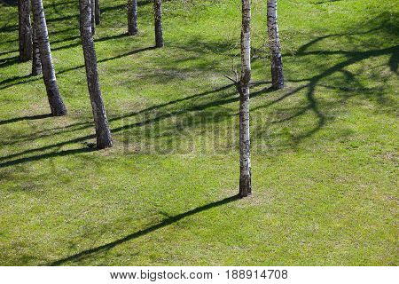Meadow with grass and young birches in spring, the shade from the trees