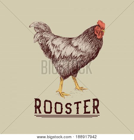 Rooster drawn in hand drawn style. Retro label or poster for advertising of farm animals production, chicken products.Vector illustration