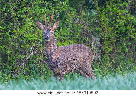 Young natural roebuck standing in green meadow