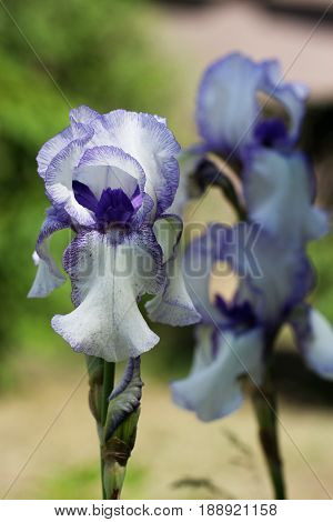 Beautiful flowers of a iris. Beautiful irises on green background. A iris plant in garden bloom in spring.