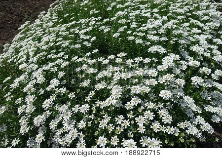Flowering Cushion Of Iberis Sempervirens In The Garden
