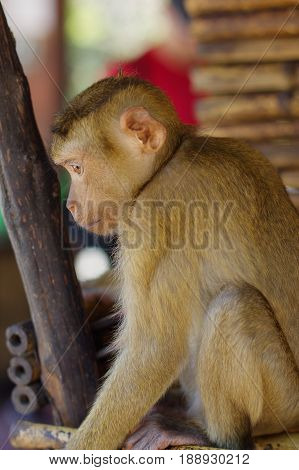 A lonely male long-tail mountain monkey sitting on stone platform. macaca monkey in Thailand