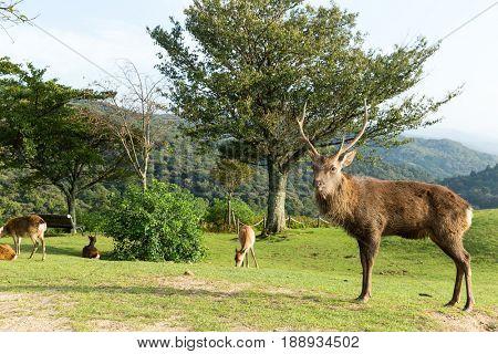 Deer herd and Deer buck standing in front