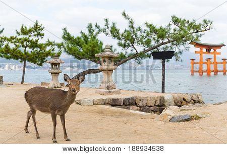 Miyajima gate and deer at Hiroshima
