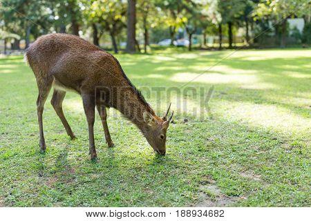 Deer fawn eating lawn