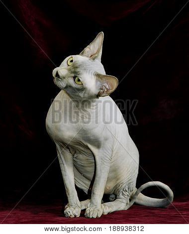 Sphynx hairless cat Looking at the side, isolated on black background