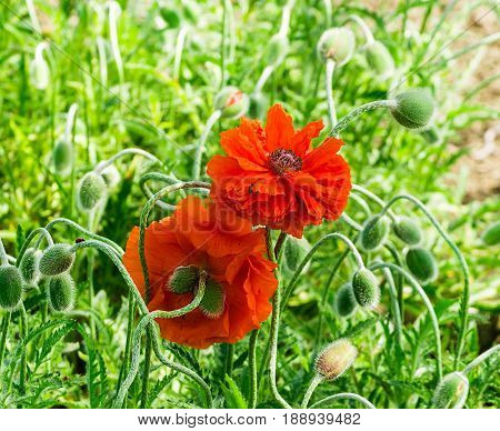 Red poppy blooming on field. Wild red poppies flowers. Poppies in nature. Macy's spring and summer flowers. Red poppy on green weeds field. Poppy flowers. Selective focus.