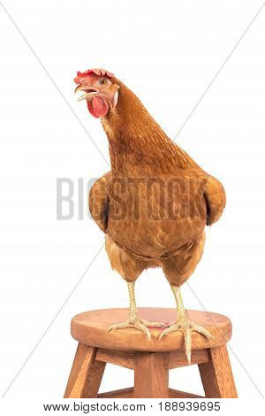 brown chicken livestock standing on wood desk isolate white background