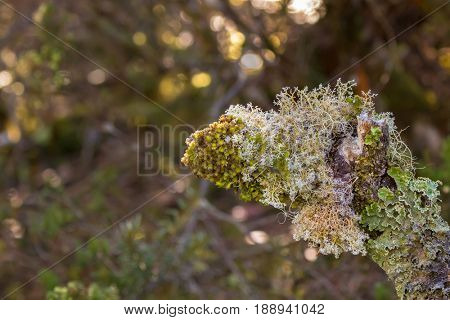 Soft focus of Fruticose and Foliose lichen growing on tree branch in forest at Cradle mountain, Lake St Clair National Park in Tasmania, Australia
