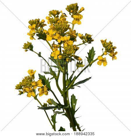 A close up shot of  Barbarea vulgaris