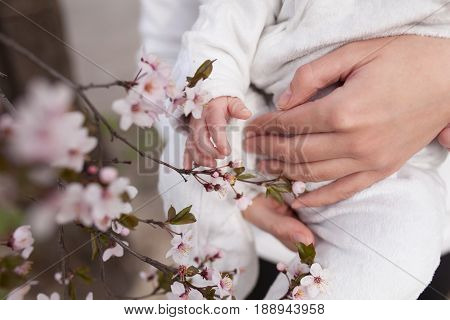 Baby touching flowers. children's hands closeup Mother hold child near cherry flowers. Spring time