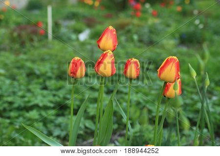 Flowers red yellow tulips on green background close to