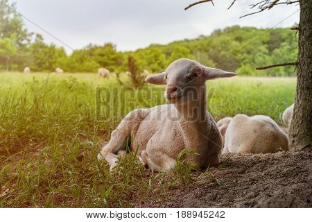 White Lamb Lies In The Grass (meadow) Sunshine