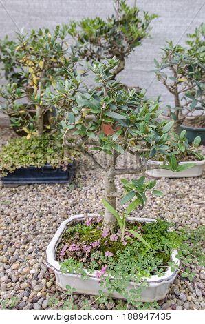 Olea Europaea Bonsai, Olive Bonsai In A Garden