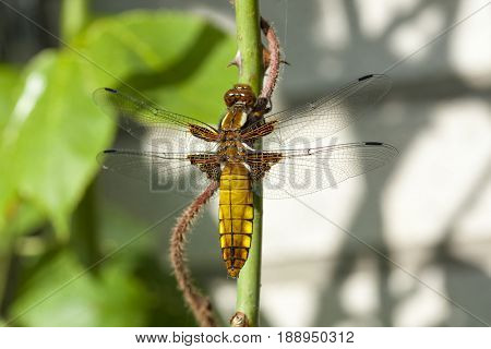 Young female Libellula depressa, the broad-bodied chaser or broad-bodied darter, resting on rose branch