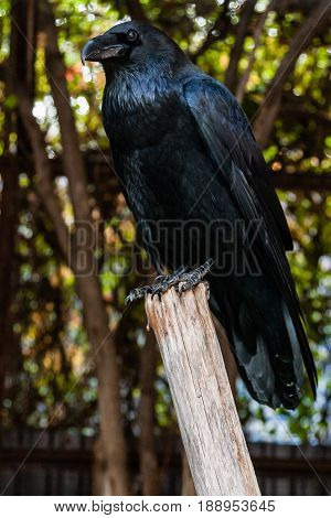Big Black Raven Sitting On A Close-up Branch