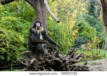 Monkey Mandrill sits on a tree close up