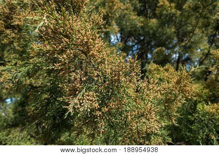 Male Pollen Cones On The Branches Of Conifers In Spring