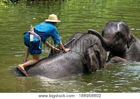 2 asian elephants playing together while male mahout take a bath for them in the river.