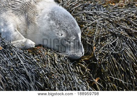 Sleeping baby harbor seal asleep on seaweed in Maine.