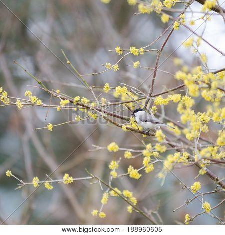 one small bird marsh tit sit in the tree