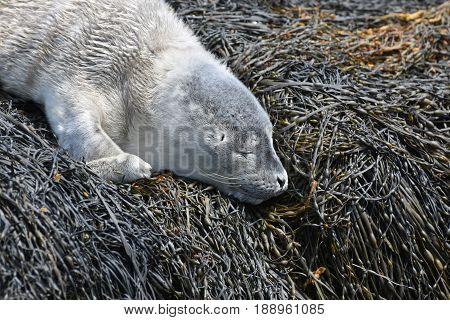 Really sweet baby harbor seal sleeping on seaweed.