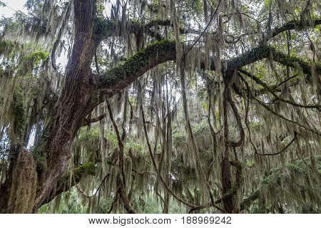 Spanish Moss covers a large Live Oak tree in southern Georgia.