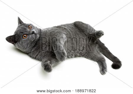 gray kitten on a white background close-up. horizontal photo.